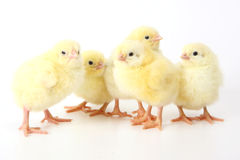 Five small chicken. Five small yellow eastern chicken Royalty Free Stock Image