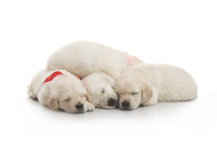 Five small cute dog puppy Stock Images