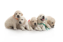 Five small cute dog puppy Stock Photography