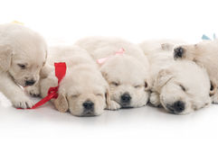 Five small cute dog puppy Royalty Free Stock Photography