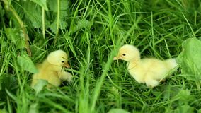 Five small ducklings outdoor in on green grass. Five small ducklings outdoor green grass stock video footage