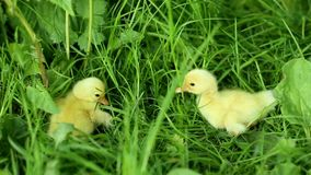 Five small ducklings outdoor in on green grass. Five small ducklings outdoor green grass stock video
