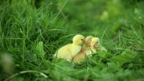 Five small ducklings outdoor in on green grass. Five small ducklings outdoor green grass stock footage