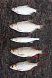 Five small fishes on stone Stock Photography