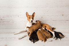 Mother basenji feed her puppies. Five small pets in hugs of one big dog at neutral background. Mother basenji feed her puppies stock photo