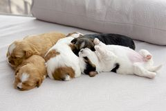 Five small puppies snuggling Royalty Free Stock Image
