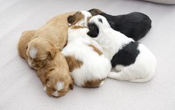 Five small puppies snuggling Royalty Free Stock Photo