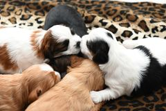 Five small puppies snuggling Stock Photos