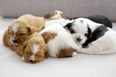 Five small puppies snuggling Royalty Free Stock Images