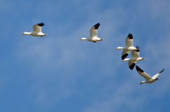 Five Snow Geese Flying in a Blue Sky Stock Images