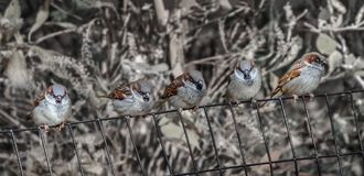 Five sparrows Royalty Free Stock Photos