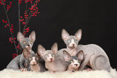 Five sphynx kitten Stock Images