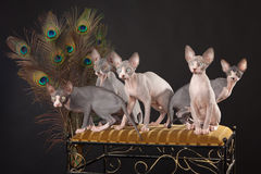 Five sphynx kitten Stock Photo
