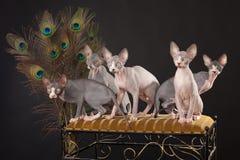 Five sphynx kitten Stock Photo