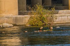 Five spot-billed ducks in shallow water. Five spot-billed ducks, two with their head under water together in a flowing river near a green bush and a bridge pylon Stock Photos