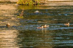 Five spot-billed ducks together in river. On a bright sunny morning Royalty Free Stock Images