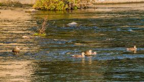 Five spot-billed ducks together in river. On a bright sunny morning Stock Photography