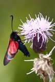 Five-spot burnet. The macro of five-spot Burnet (Zygaena trifolii) on the violet plant Stock Photography