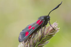Five Spot Burnet Royalty Free Stock Photography