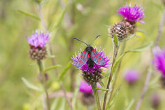 Five spot burnet Royalty Free Stock Photos