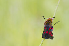 Five spot burnet Royalty Free Stock Image