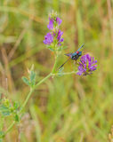 A Five-spot Burnet on Alfalfa Plant Stock Image