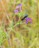 A Five-spot Burnet on Alfalfa Plant Stock Images