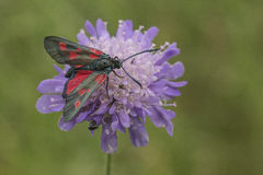 Five Spot Burnet Stock Photos