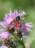 Five Spot Burnet Moth Royalty Free Stock Images