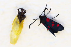 Five Spot Burnet moth and chrysalis empty shell - Zygaena trifolii royalty free stock photos