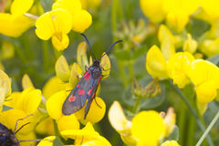 Five spot burnet Royalty Free Stock Images