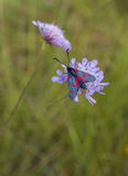 Five-spot Burnet on purple flower Royalty Free Stock Photos