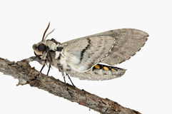 Five Spotted Hawk Moth Stock Images
