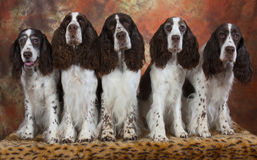 Five springer spaniels. Springer spaniel family with three generations Royalty Free Stock Photography