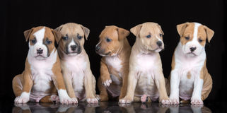 Five staffordshire terrier puppies posing on black. Group of puppies sitting on black background stock photo