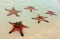 Five star fish at the beach Stock Photography