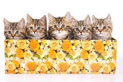 Five striped kitten. In a box isolated on white royalty free stock photos