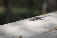 Five-Stripped Skink Royalty Free Stock Photography