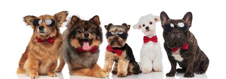Five stylish dogs of different breeds wearing red bowties. While standing, sitting and lying on white background Stock Photo