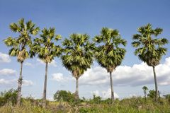 Five Sugar palm trees. Stock Photography