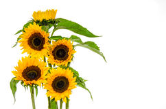Five sunflower on white background Royalty Free Stock Photo