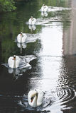Five Swans Royalty Free Stock Image