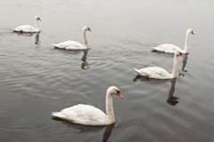 Five swans Royalty Free Stock Photos