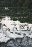 Five swans Royalty Free Stock Photo