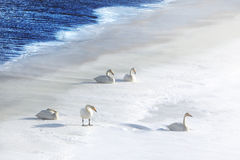 Five swans in snow at water's edge. On a cold day royalty free stock image