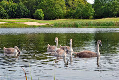 Five sygnets on a lake Royalty Free Stock Photos
