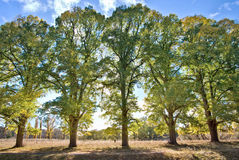 Five tall trees Stock Images
