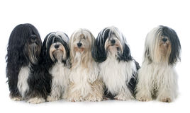 Five Tibetan terrier Royalty Free Stock Photography