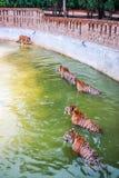 Five Tiger. In Kanchanaburi, Thailand stock photos