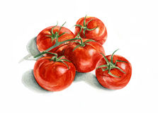 Five tomatoes on a branch. Watercolor painting. On white background Stock Photography